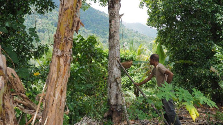 Clove plantation in Tidore